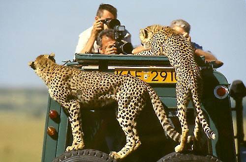 Guépards dans le Serengeti en Tanzanie