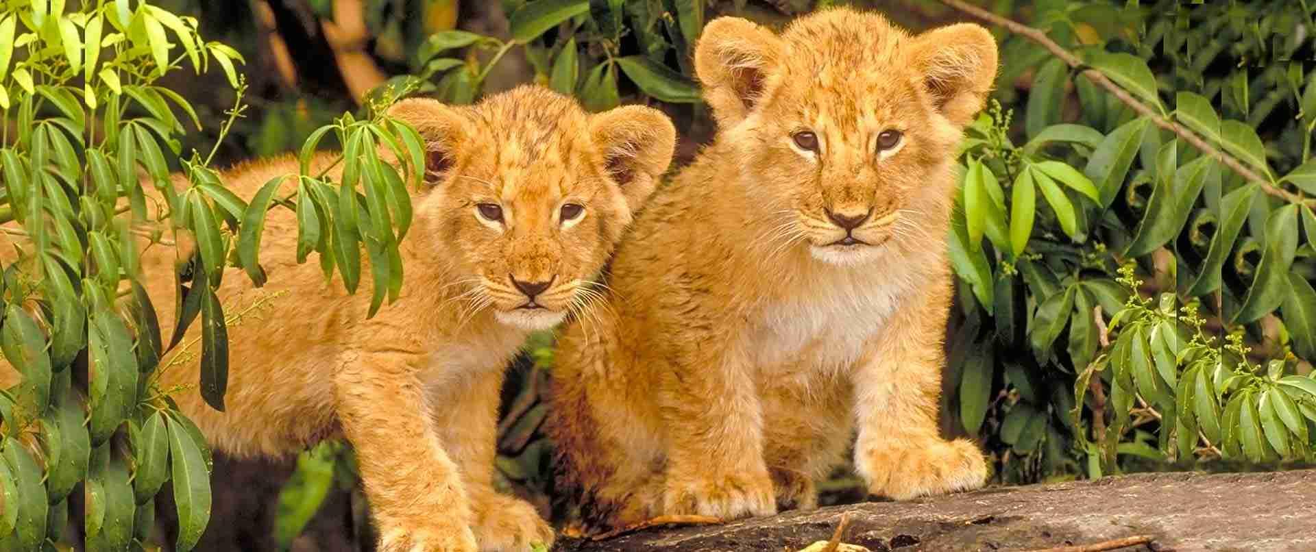 Lions en Tanzanie