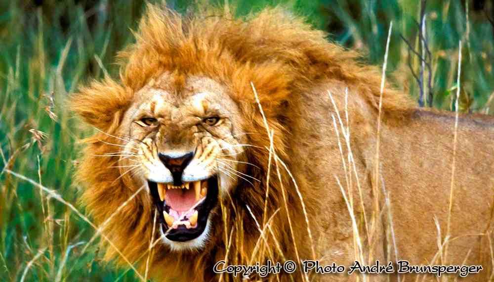 Lion en colère, Serengeti Tanzanie