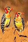 Safari en petit groupe Nord Tanzanie, lac Manyara, Serengeti, N'Gorongoro, Zanzibar