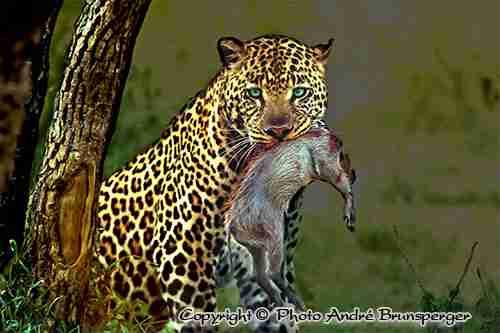 Conseils photos en safari. Léopard en Tanzanie