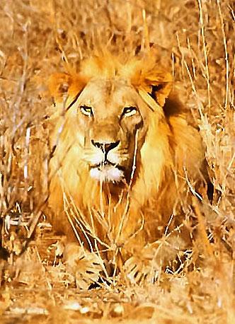 Lion dans Ruaha en Tanzanie