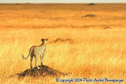 Conseils photos en safari. Guépard en Tanzanie